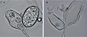phytophthora gemini